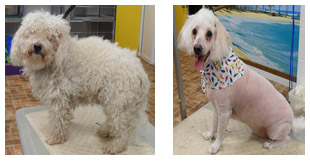 Toy Poodle Before and After
