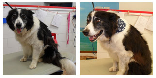 Border Collie Before and After